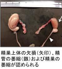 ウォルフ管由来臓器の低形成または欠損を伴う異常小精巣(TW)ラット